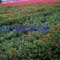 特价批发营养小杯红叶石楠小苗,H50—60公分石楠,工程苗专用 红
