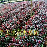 特价批发工程小苗红叶石楠,小杯H15—30公分,红叶石楠小苗
