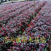 大量出售优质绿化工程小苗H30—40公分(1年扦插红叶石楠)