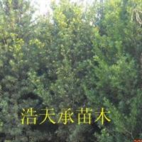 苗圃长期现化供应优质罗汉松,大小规格其全价格合理, 罗汉松