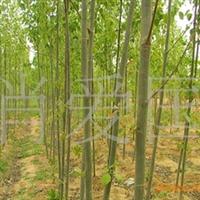 供应2-20公分优质毛白杨(图)