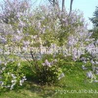 供应丛生丁香,独杆丁香,紫丁香,丁香种子、绿梅、垂梅等苗木