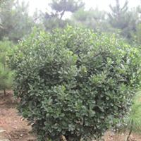 供应优质 园林观赏绿化苗木冬青球