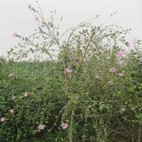 供应园林观赏苗木--木槿花