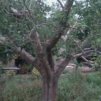 山楂  山楂树之恋  造型山楂苗木 高档别墅,庭院绿化 大规格