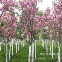 苗圃直销樱花