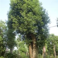 香樟荟园香樟价格 香樟基地苗木