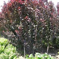 苗圃直销紫叶李2-8公分
