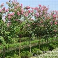 供应紫薇 紫薇价格表 荟园紫薇 直销2-8公分紫薇