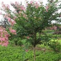紫薇树 紫薇苗木 紫薇价格 荟园园林紫薇 四川紫薇价格表
