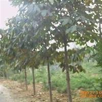 优质的七叶树