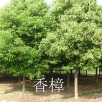 供应绿化苗木,风景树、行道树、香樟,欢迎选购!