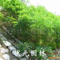 供应状元园林护坡首选绿化苗木-紫穗槐