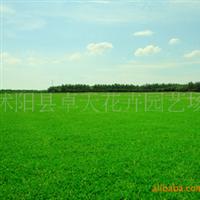 批发草种子:供应进口草坪种子,早熟禾种子,(午夜2号)