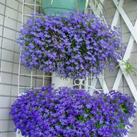 垂吊盆栽花卉种子 翠蝶花种子 100粒/包  六倍利种子 吊兰花卉