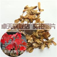 美国红枫种子 红花槭 加拿大红枫 红糖槭 猩红枫批发价1300元一斤