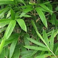 供应箬竹 又名风水竹