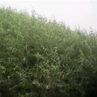 邱县红叶苗木