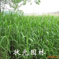 供应梭鱼草、花叶芦竹、香蒲、泽泻、旱伞草、芦苇