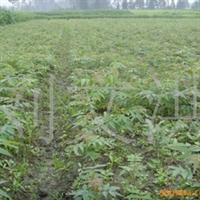 大量供应优质天竺桂苗木