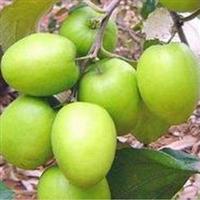 台湾大青枣苗 脆甜枣树苗(品种是台南) 基地直销