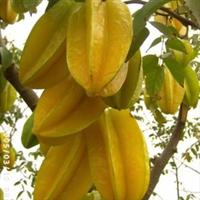 马来西亚红杨桃 台湾四季红杨桃树苗 软枝红杨桃 盆栽树苗