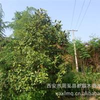 出售广玉兰 广玉兰树   3公分白玉兰 玉兰树苗 广玉兰价格