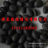 批发供应优质碗莲种子  一级种子 种子站 推荐混色