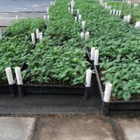 澳洲进口银叶金合欢筛苗种苗