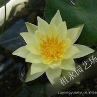 秒杀 日本引进小睡莲【海尔芙拉】迷你睡莲 碗栽盆栽都可以