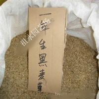 批发供应 一年生黑麦草草种 黑麦草草籽 牧草种子 黑麦草种子