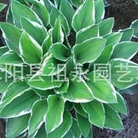 特价出售花叶玉簪*净化空气花园绿化,效果上佳 盆栽精品