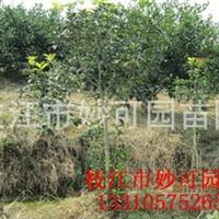供应精品米径4公分金桂 胸径4公分金桂树苗 优质金桂 绿化苗木