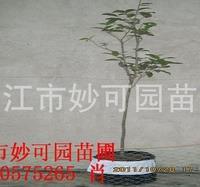 供应精品米径2公分八月桂桂花移栽苗 桂花树
