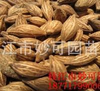 专业出售湖北桂花种子 量大者65元一公斤
