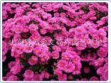 宿根优质青州何兰菊 厂家直供 欢迎订购 质优