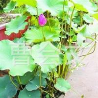 青州盆栽优质荷花、莲花。睡莲基地。
