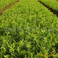 绿怡苗圃大量供应最新春杜鹃