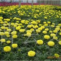 万寿菊、优质青州万寿菊,多种草花供应 欢迎您来电订购 质优