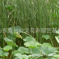 水生香蒲电话 青州水生香蒲13964756016 欢迎您来电订购!