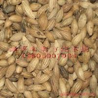 专业供应优质八月桂黄金桂  桂花种子