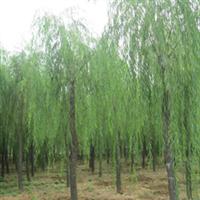 大量出售8-25公分垂柳、树形尤美、无病害、成活率高