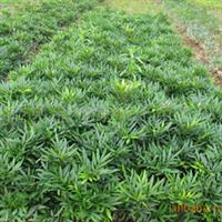 大量供应十大功劳等优质绿化苗木