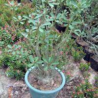 供应室内植物,迷你盆栽,沙漠玫瑰植物