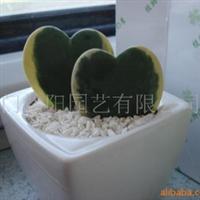供应心叶球兰 迷你盆栽 室内植物 园艺花卉