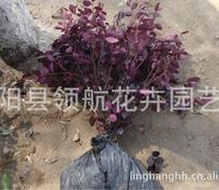 大量供应红花继木 、红桎木、红继花扦插小苗