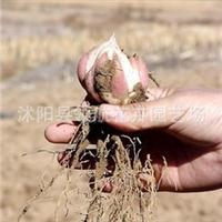 领航花卉园艺场 批发供应百合种球 各种花卉种球