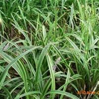 供大叶麦冬草,小叶麦冬草,金边麦冬