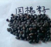 供:国槐种子