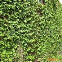 供应草,爬墙虎-屋顶及垂直绿化专用草(图)